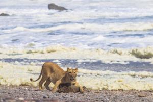 Львы в Намибии перешли на диету из морских животных