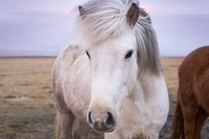 В Исландии создали комиссию, чтобы лошадям не давали пошлые клички