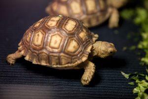 Впервые в украинском зоопарке родились шпороносые черепахи