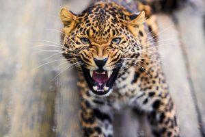 Леопард восемь часов держал в страхе индийскую деревню (видео)