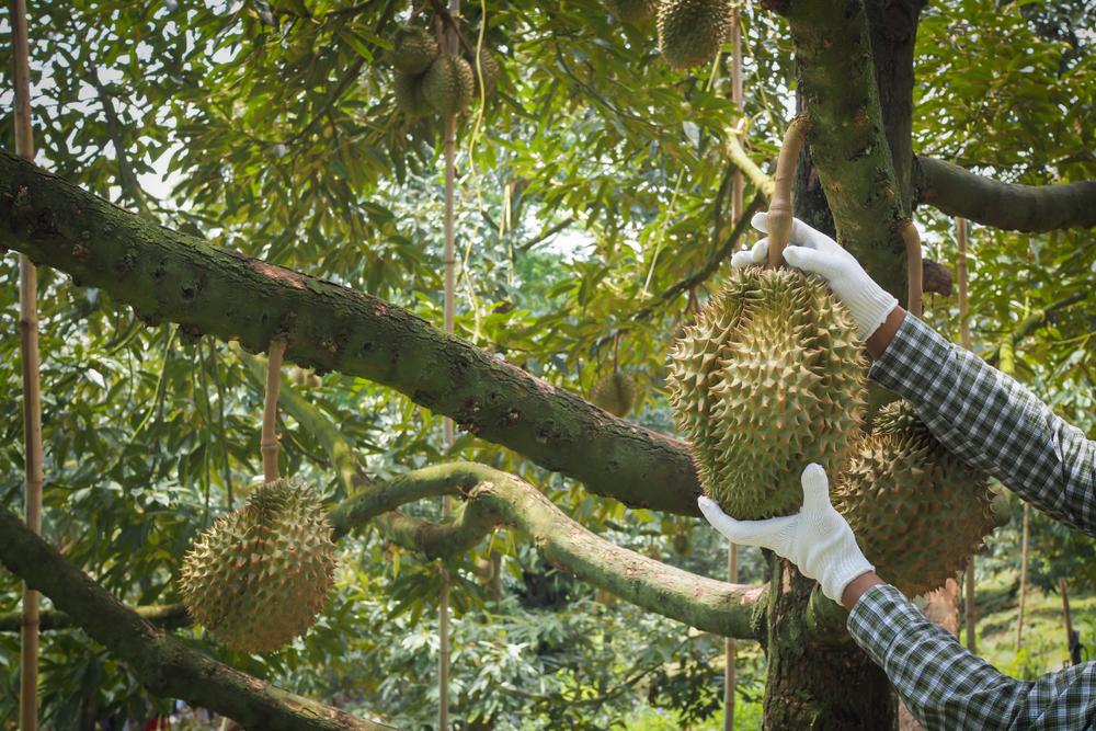 Спрос на дурианы спровоцировал вырубку малайзийских лесов