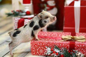 Зоозащитники просят тайваньцев не заводить домашних свинок в год Свиньи