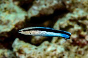 Ученые подтвердили, что рыбы способны узнавать себя в зеркале