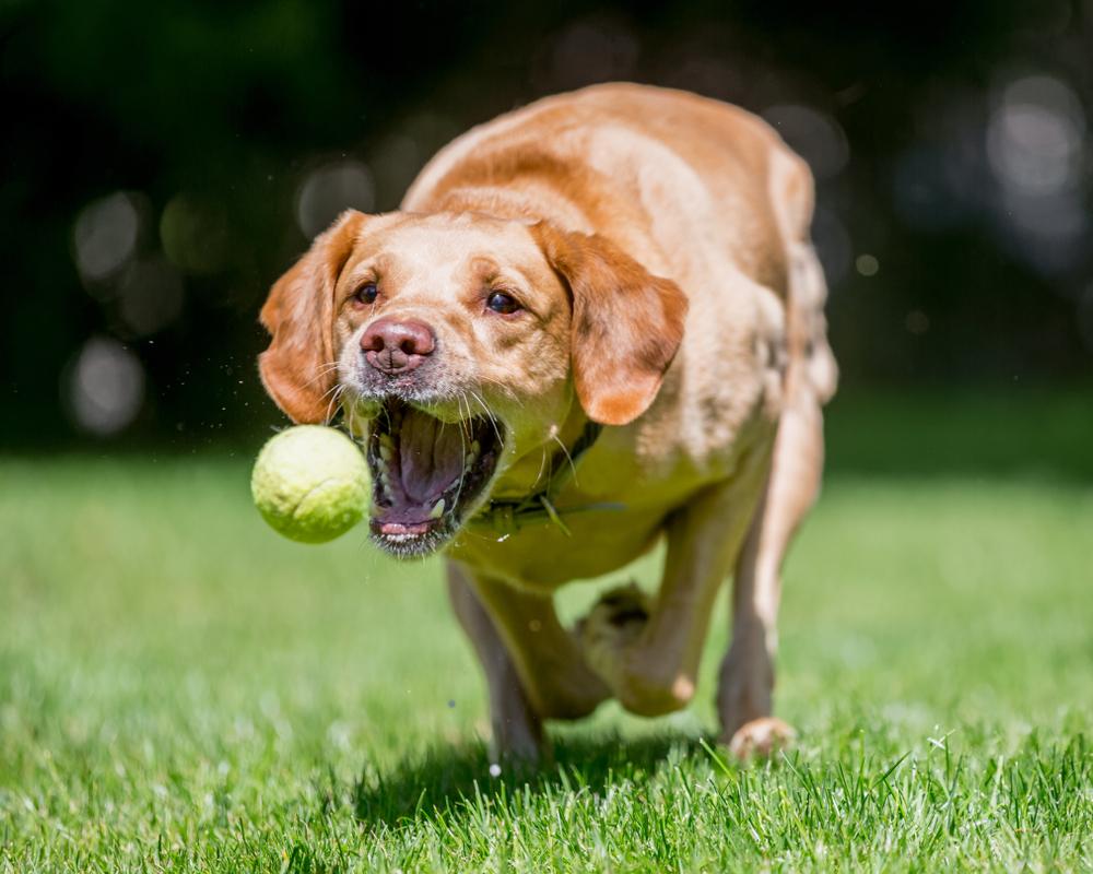 В США собака поймала мяч с 75 метров