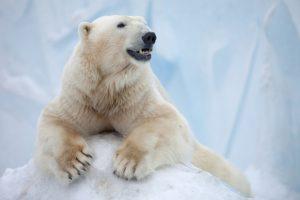Нашествие белых медведей: на архипелаге Новая Земля объявили чрезвычайное положение