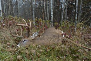 Зоозащитники попытались спасти оленя от охотников, но тот умер от страха