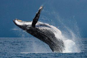 Наблюдение за горбатыми китами в Доминикане: личный опыт