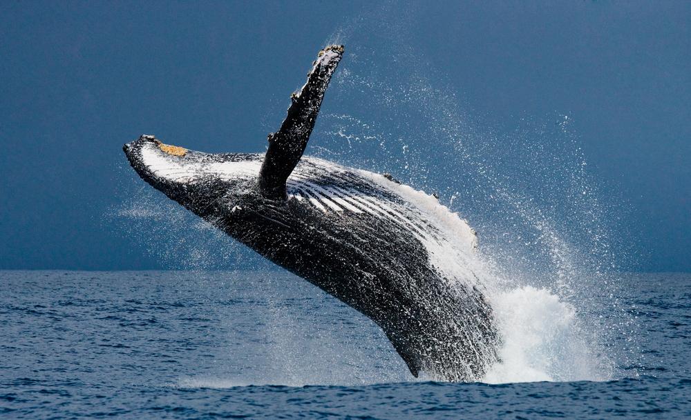 Наблюдение за горбатыми китами в Доминикане: личный опыт.Вокруг Света. Украина