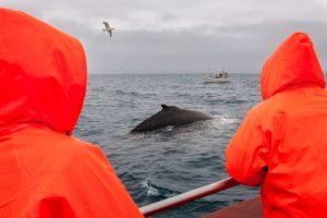 Исландия разрешила убийство более 2 тысяч китов