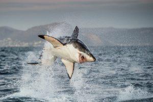 Исчезновение больших белых акул изменило экосистему