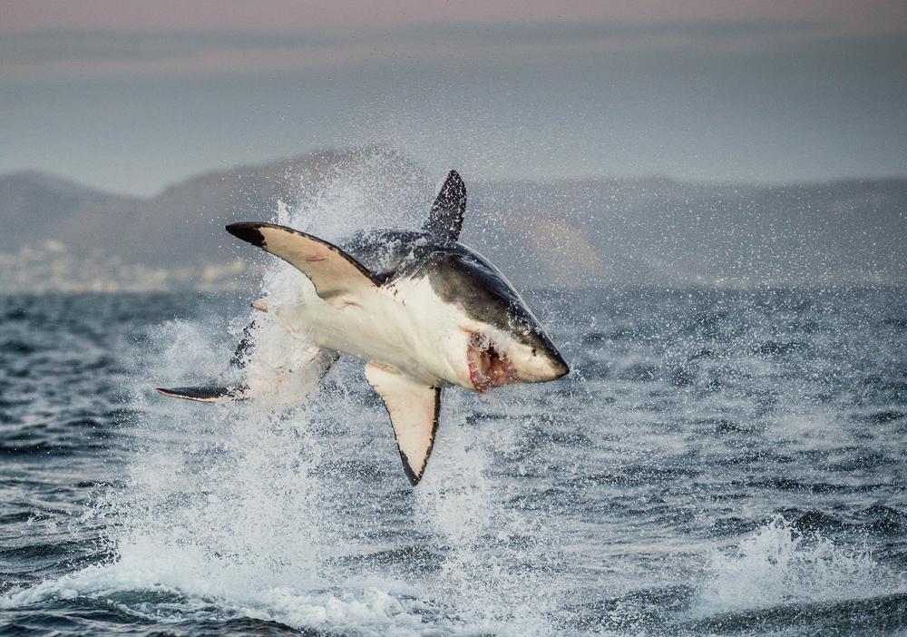 Исчезновение больших белых акул изменило экосистему.Вокруг Света. Украина