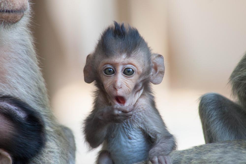 Первобытные люди делали оружие из костей обезьян, чтобы убивать еще больше обезьян