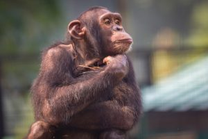 Между языком шимпанзе и человека есть сходство — ученые