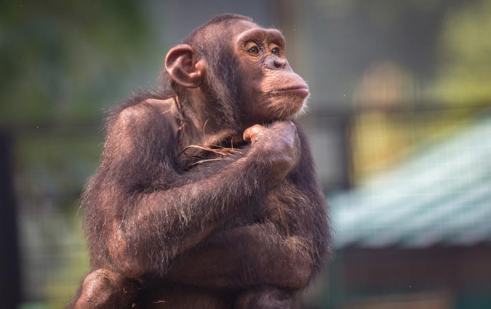 Между языком шимпанзе и человека есть сходство — ученые.Вокруг Света. Украина
