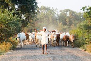 В Индии защитники коров убили 44 человека