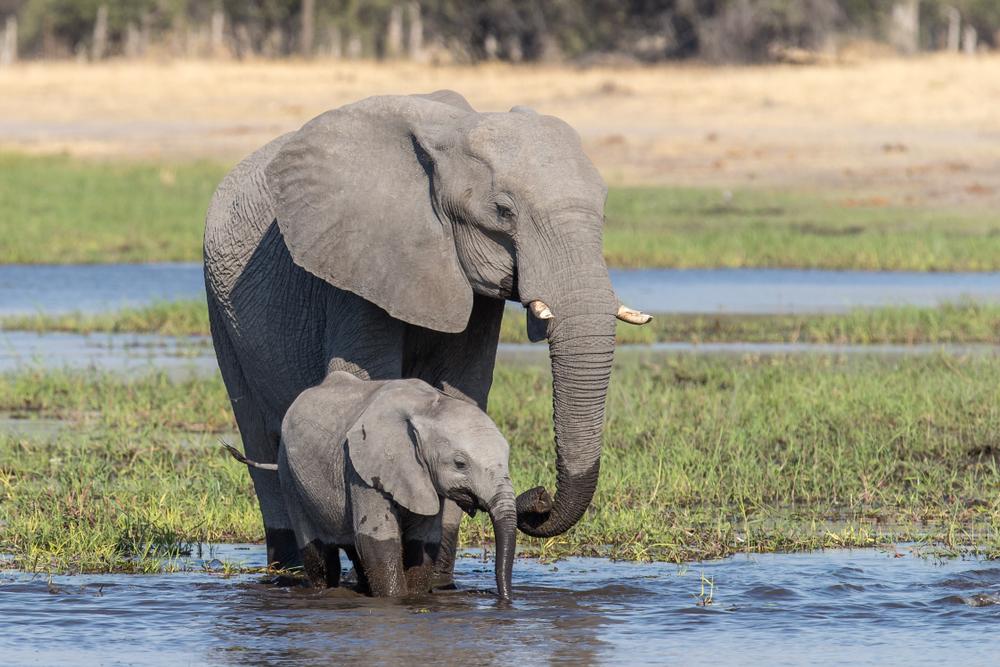 Слонов Ботсваны отправят на корм котам