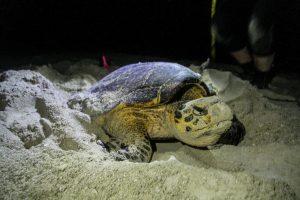Ученые будут охлаждать черепах