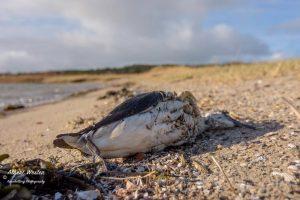 В Нидерландах погибло 20 000 морских птиц