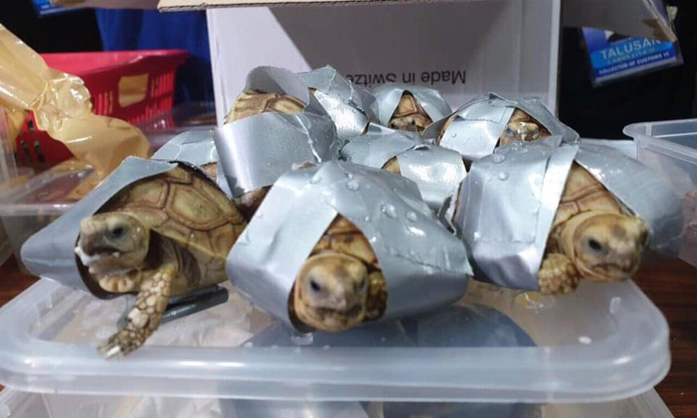В аэропорту Филиппин нашли 1500 живых черепах, обмотанных скотчем