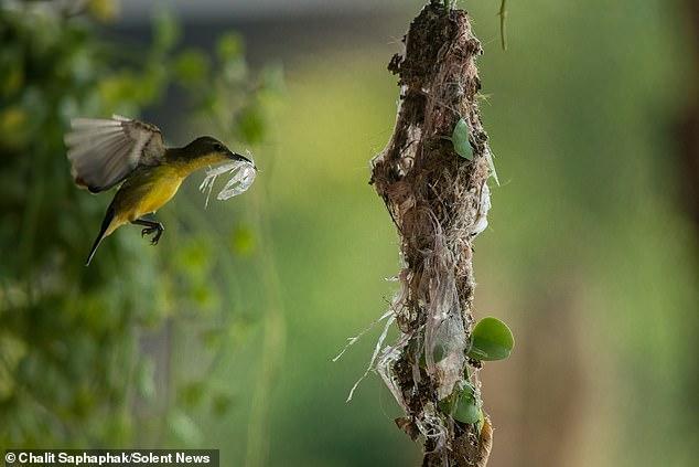 Фотограф из Таиланда снял, как птица вьет из пластика гнездо