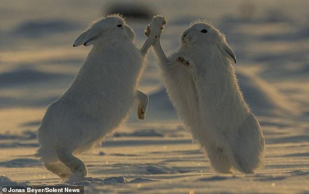 Дай пять! Фотограф снял битву полярных зайцев
