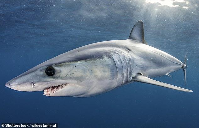 На четверть меньше: в Красном списке мира оказалось еще 17 разновидностей акул.Вокруг Света. Украина