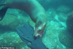 Сражение морского льва с ластами дайвера (видео)