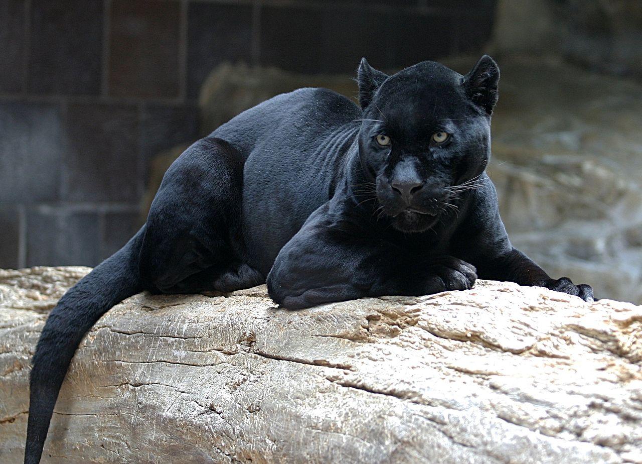 В Аризоне пантера напала на женщину, собиравшуюся сделать селфи