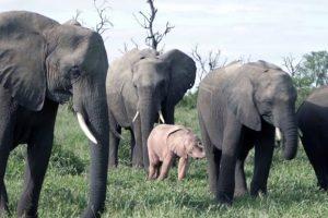 В ЮАР нашли розового слоненка