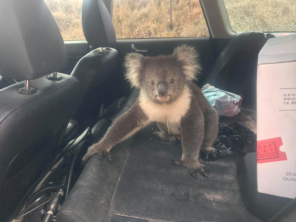 В Австралии коала залезла в джип, чтобы охладиться