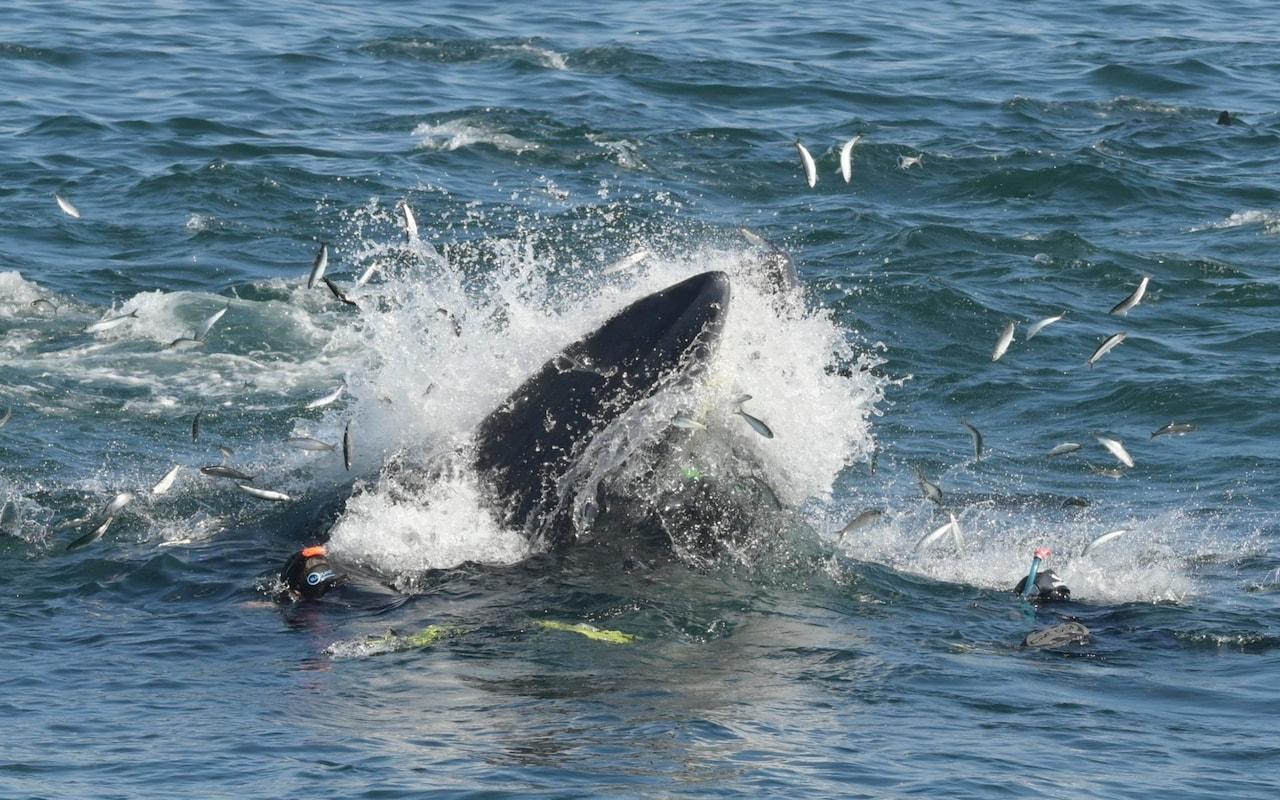 Иона XXI века: фотограф снял, как кит заглотил дайвера