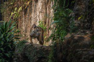В Киеве пройдет предпремьерный показ документального фильма «Спасти тигра»
