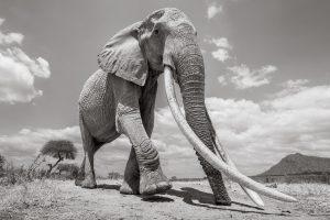 Британский фотограф запечатлел одного из последних слонов с гигантскими бивнями