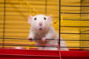Учёные из США научили алгоритм распознавать «речь» крыс