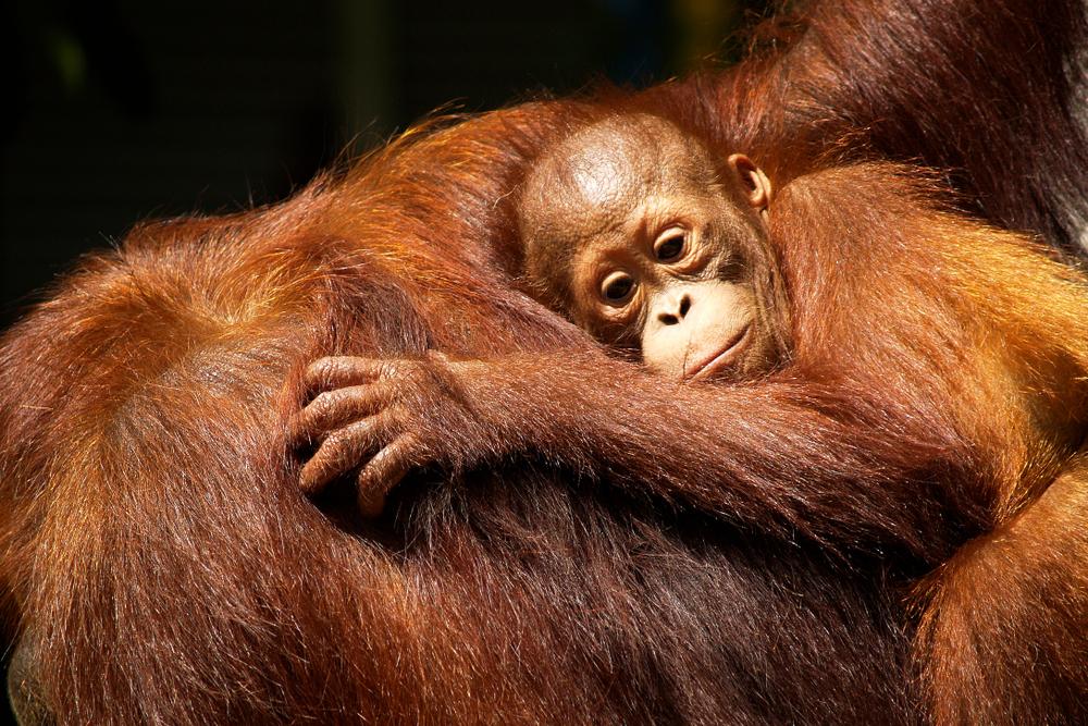 В Индонезии орангутан выжил после 74 пулевых ранений