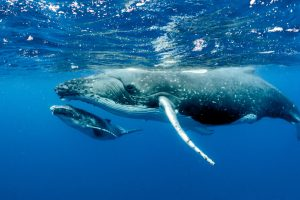 За сотни тысяч лет маршруты китов не изменились: палеонтологи