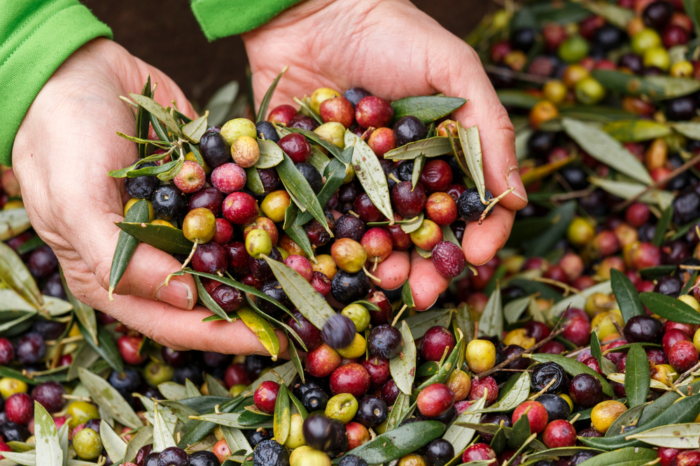 В Италии из-за глобального потепления на 57% сократился урожай оливок