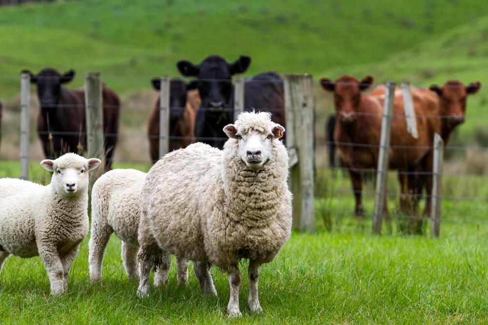 В Новой Зеландии дроны будут лаять на овец.Вокруг Света. Украина