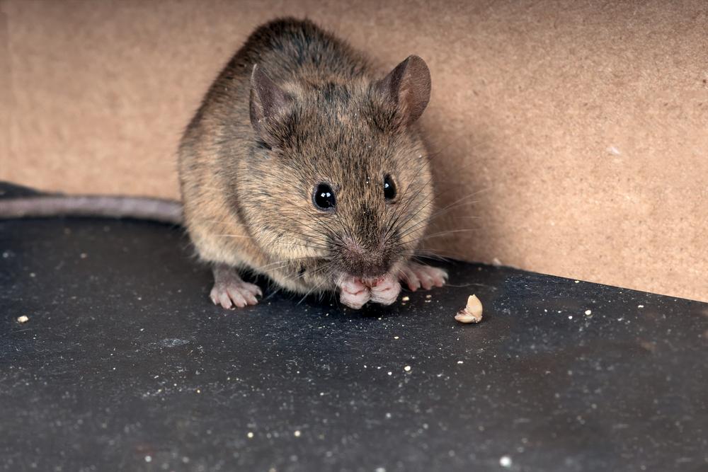 В Великобритании фермер обнаружил мышь-уборщицу