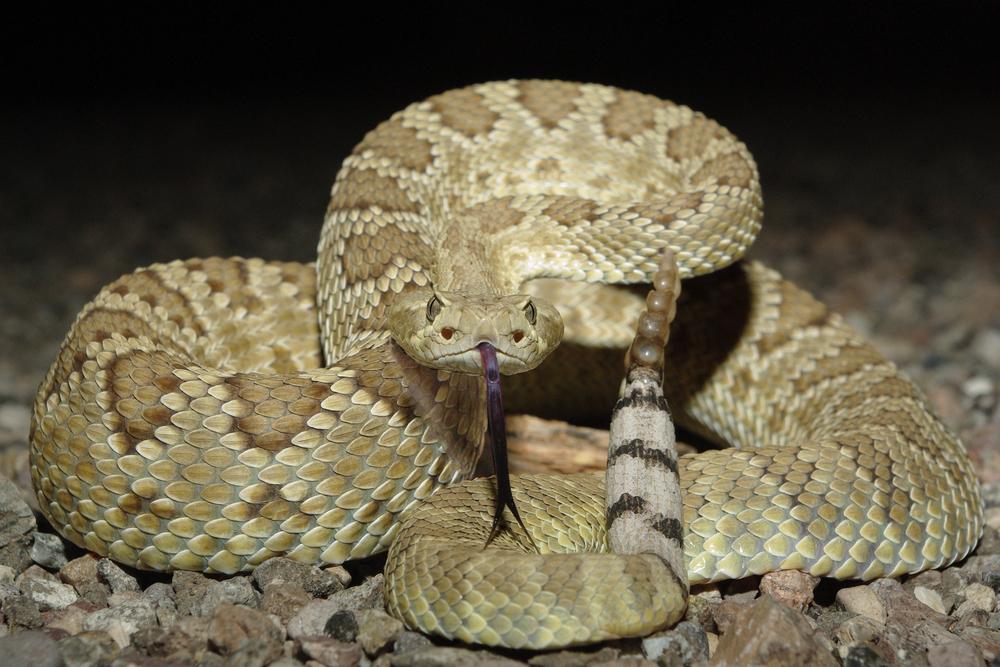 Американец нашел в своем доме 45 гремучих змей