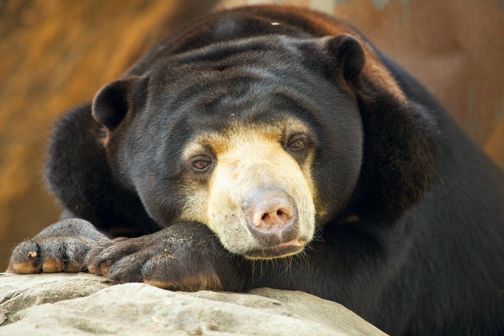 Медведи умеют подражать выражению лица