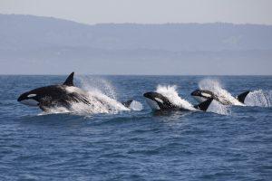 У побережья ОАЭ впервые за 10 лет замечены косатки