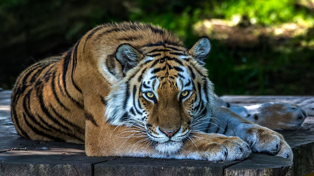 Discovery и WWF вместе спасают тигров в России и Южной Азии