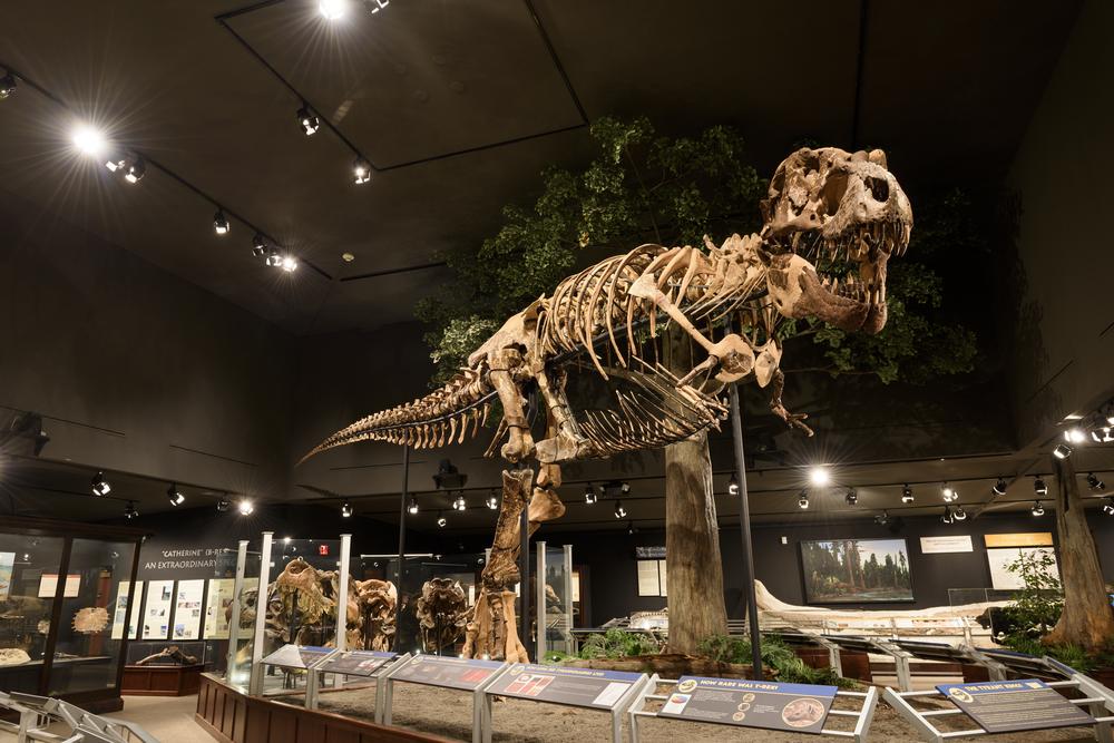 Палеонтологи обнаружили крупнейшего тираннозавра рекса.Вокруг Света. Украина