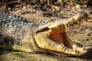 В Австралии арестовали крокодила