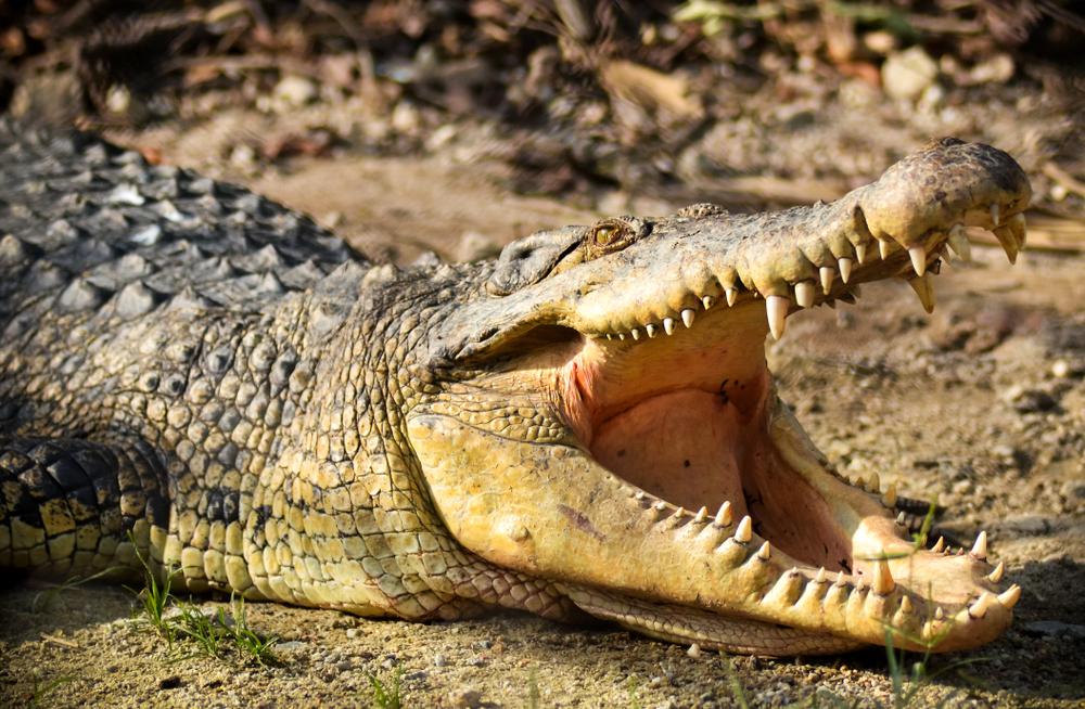 В Австралии арестовали крокодила.Вокруг Света. Украина