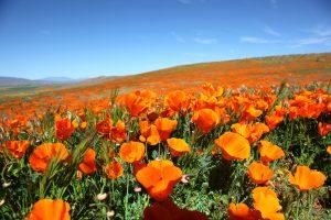 После сильных ливней в Калифорнии расцвели золотые маки