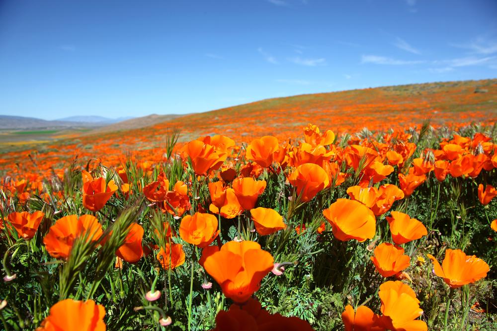 После сильных ливней в Калифорнии расцвели золотые маки.Вокруг Света. Украина