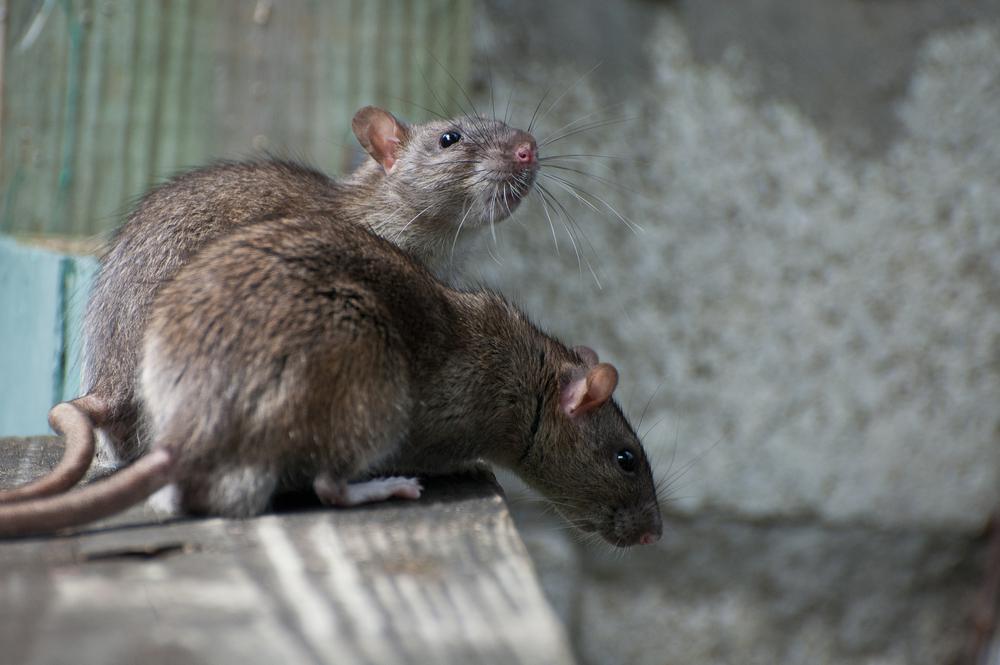 Крысы уничтожили 10% уникальной фауны на островах мира.Вокруг Света. Украина
