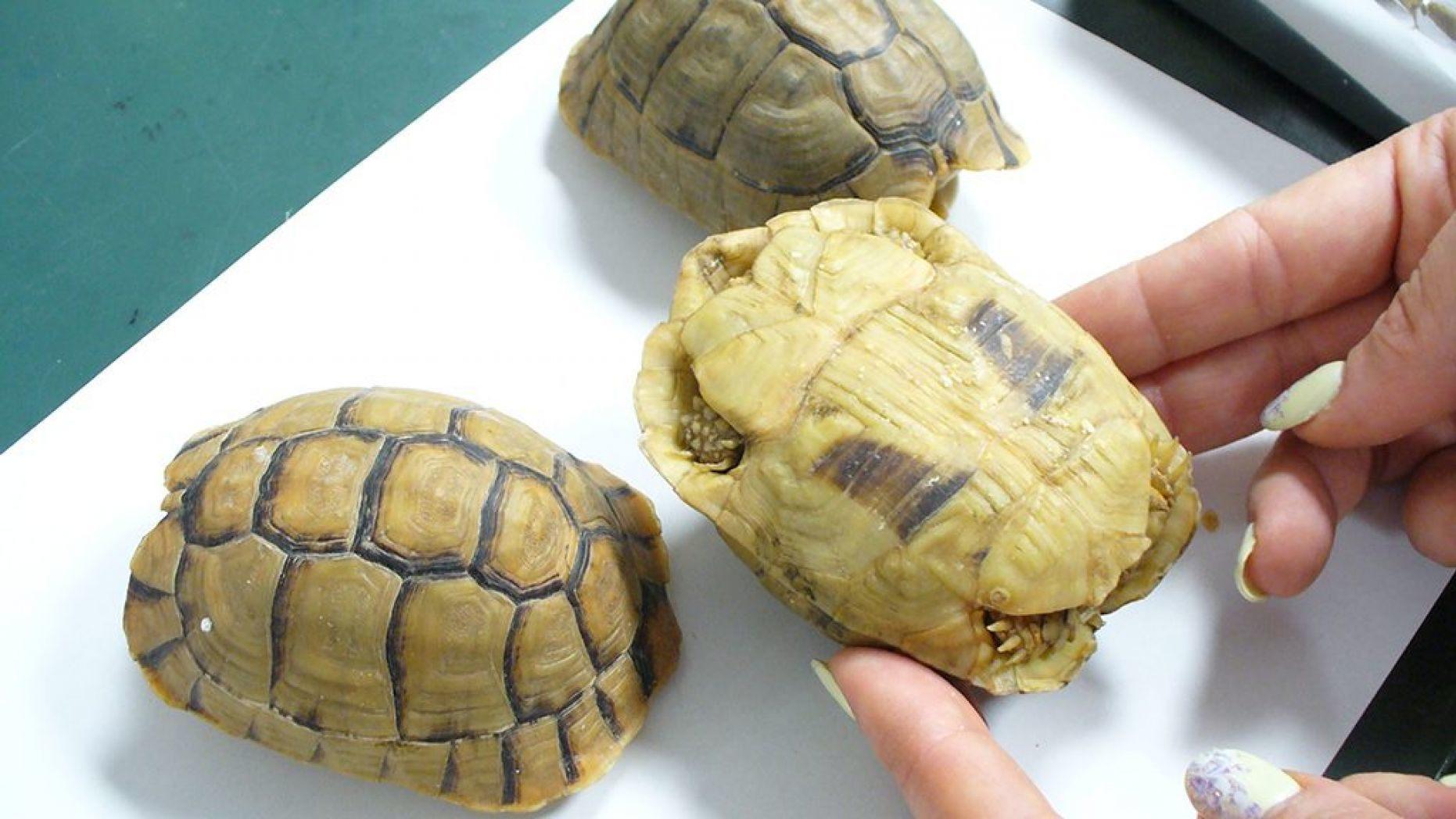 Пассажир замаскировал черепах под пирожные, чтобы вывезти